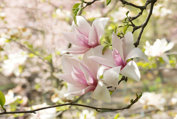 Background with blooming pink magnolia flowers