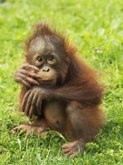 Orangutan puppy