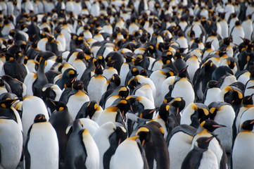 Fond de hotte en verre imprimé Pingouin King Penguins on Gold Harbour