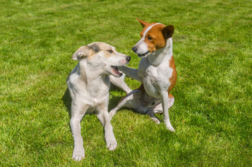 Mature basenji dog calming its younger friend mixed breed dog playing on a fresh lawn