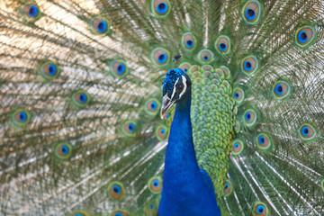 Peacock with colorful spread feathers. Animal background.