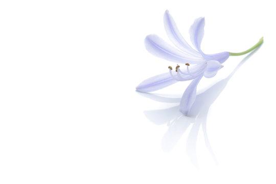 Japanese agapanthus flower isolated