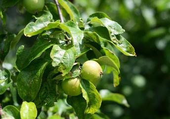 Growing green unripe apples on tree branch.