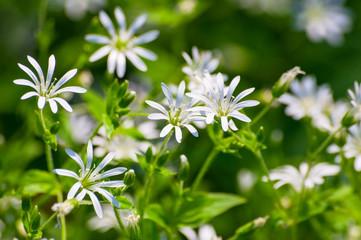 Stellaria graminea common starwort or stitchwort white wild flower natural texture background