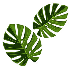 Leaf of monstera.