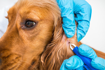 Veterinarian removing a tick from the Cocker Spaniel dog