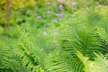 Green fern leaves on Midsummer in forest: Latvian nature during Ligo celebration