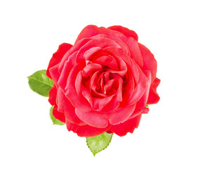 Flower of red rose with green leaves, isolated on white