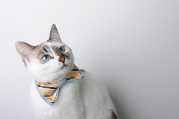 White blue-eyed cat in a bow tie on a white background looks right, free space for a design
