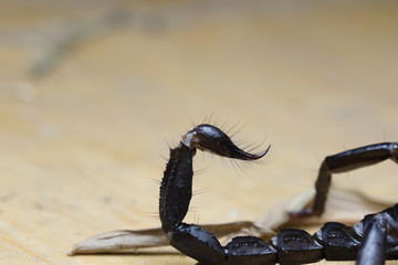 Scorpion in Thailand and Southeast Asia.