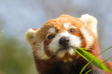 Cross-eyed animal. Cute red panda eating looking at bamboo shoots. Funny meme image.