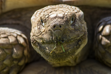 Old timer. Living dinosaur animal. Cracked wrinkled face of african spurred tortoise.