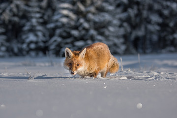 red fox in the snow(Vulpes vulpes)
