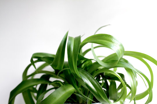 Close up green spider plant