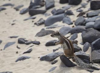 Barbary ground squirrel of Fuerteventura