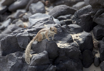 Barbary ground squirrel of Fuerteventura