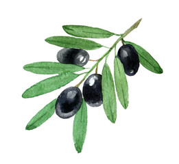 Branch of black olives, isolated on white background, watercolor illustration