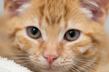 Close up of a cute red kitten