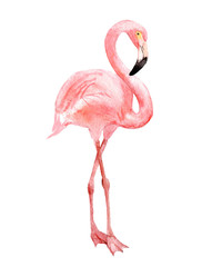 Flamingo, isolated on white background, watercolor illustration