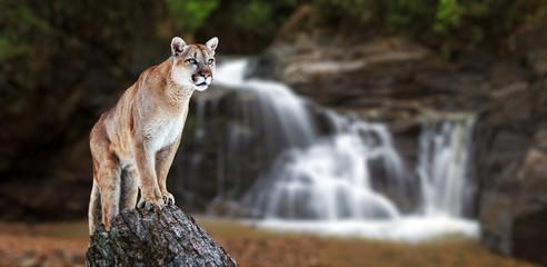 Poster Puma Puma at the Falls, mountain lion, puma