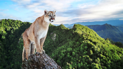 Foto op Textielframe Puma Cougar in the mountains, mountain lion, puma