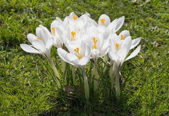 crocus white violet