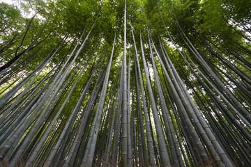 Bambus, Wald, Bambuswald in Kyoto, Japan, Asien