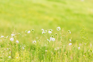 Green summer nature background with chamomile flowers.Spring floral landscape