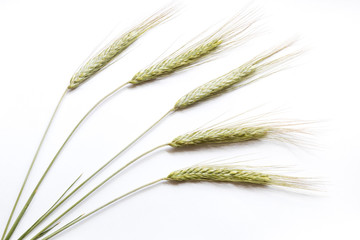 Rye ears on white background, close up