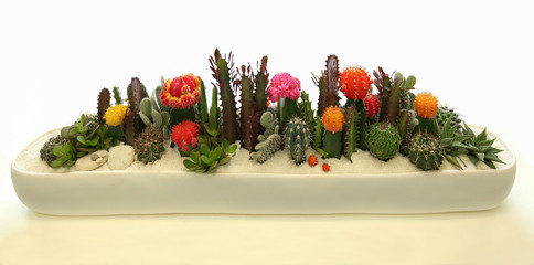 Elegant and beautiful cactus container garden with blooming cactus flowers.