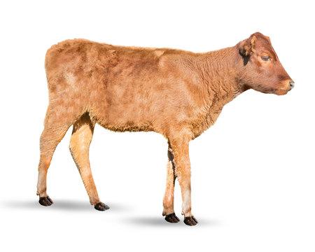 Cute calf on white background