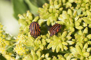 Detail of red Bug in the Nature, Graphosoma lineatum