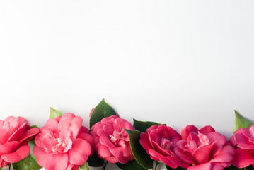 High angle view of red camellia japonica blossoms arranged in a row on a white background with copy space - nature background