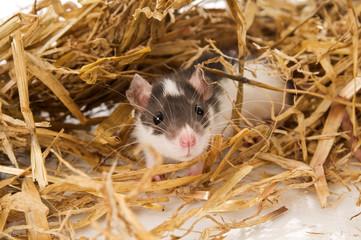 Junge Ratte im Stroh
