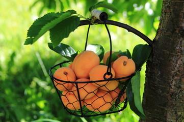 абрикосы в корзине на ветке дерева в саду