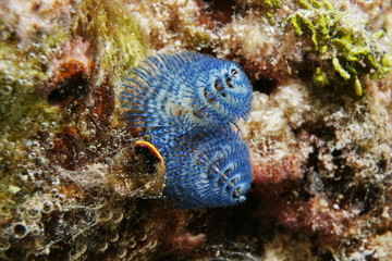 Marine life a blue christmas tree worm, Spirobranchus giganteus, underwater in the lagoon of Bora Bora, Pacific ocean, French Polynesia