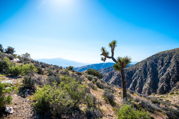 Joshua Tree overlooking mountain range.