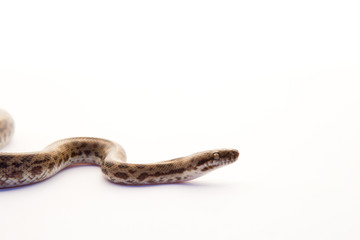 Spotted Python - young snake on white background