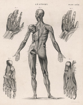 Muscles of the human body. Date: 1768
