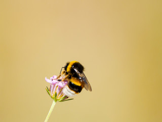 A bumblebee pollinating a flower on springtime