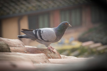A pigeon on a tile roof. Vignette effect.