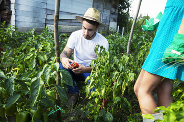 Young couple harvesting bell pepper in vegetable garden