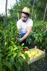 Young man harvesting bell pepper in vegetable garden