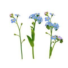 forget me not flowers isolated on white