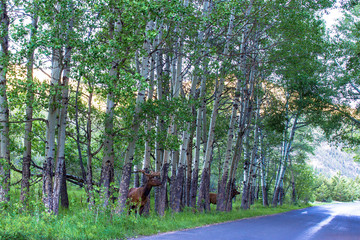 Two bull Elk at dawn on a roadside in Rocky Mountain National Park