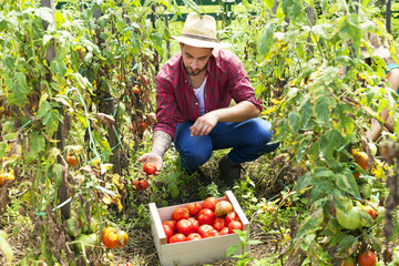 Young man harvesting tomatoes in vegetable garden