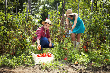 Young couple harvesting tomatoes in vegetable garden