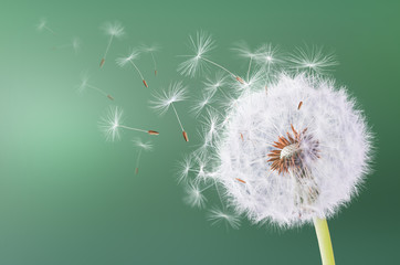 Dandelion flying on green background