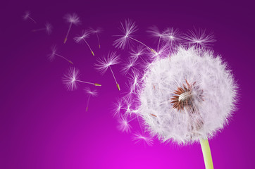 Dandelion flying on magenta background