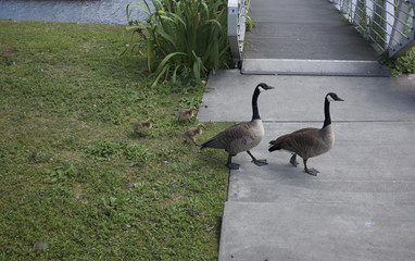 Baby Geese with Parents